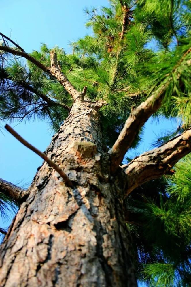 pine-tree-e1334339816520